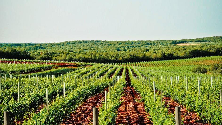 vinograd-sv-ante