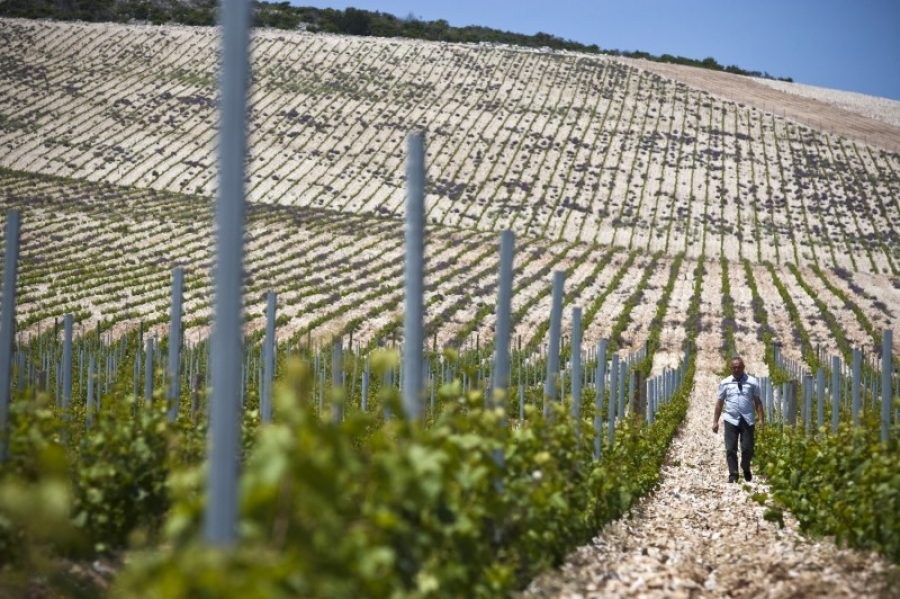 stina-vino-vinograd