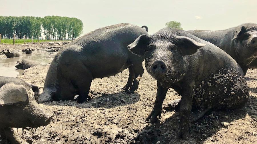 belje-css-svinje