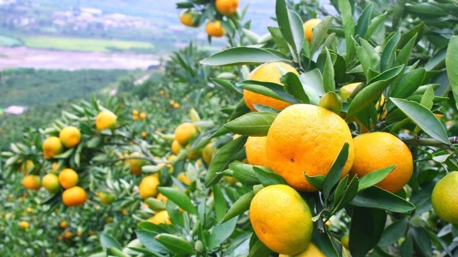 neretvanske mandarine