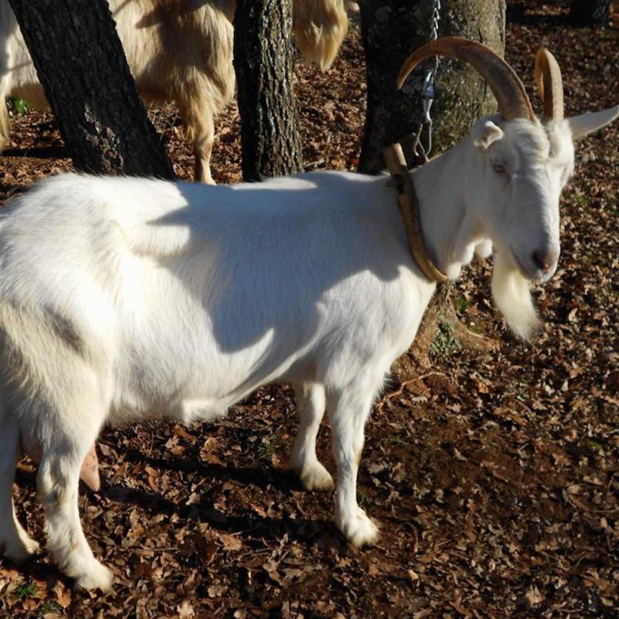 istarska-koza