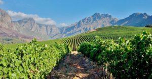 juznoafricka-vinogradi