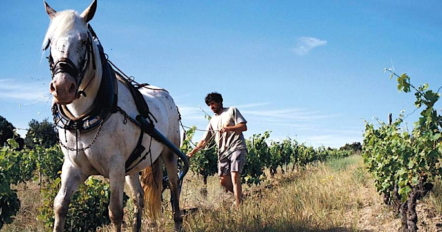 prirodna-vina-vinograd