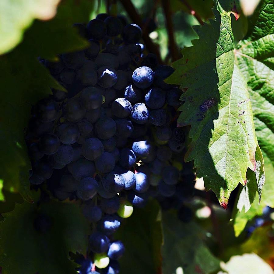grimalda-grozdje