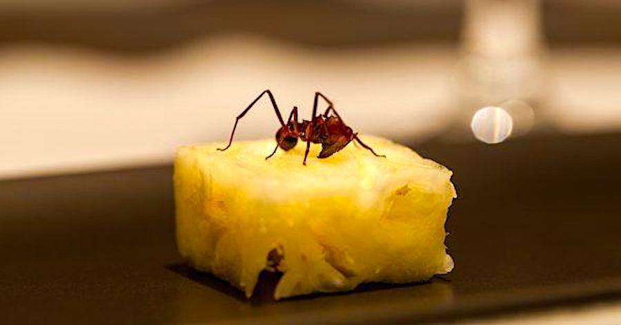 atala-mrav